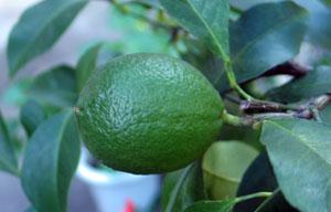 Lemon20061008_203255.jpg