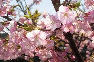 kawazu-cherryblossoms_20100.jpg