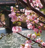 kawazu-cherryblossoms_20102.jpg