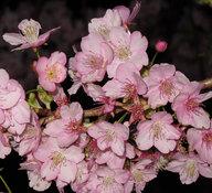 kawazu-cherryblossoms_201yo.jpg