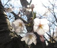 sakura2010_0330_5.jpg