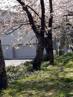 sakura2010_1.jpg